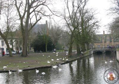 Cisnes en el Minnewater de Brujas