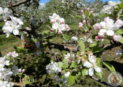 Detalle de la flor del manzano