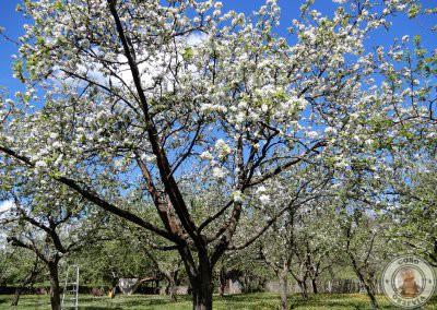 Floración del manzano en Asturias