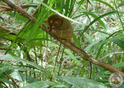 Santuario de tarsiers de Corella - Cuarta parada del recorrido por Bohol