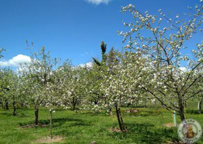 Semana de la floración del manzano en Asturias