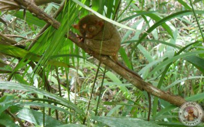 Santuario de tarsiers de Corella en Bohol